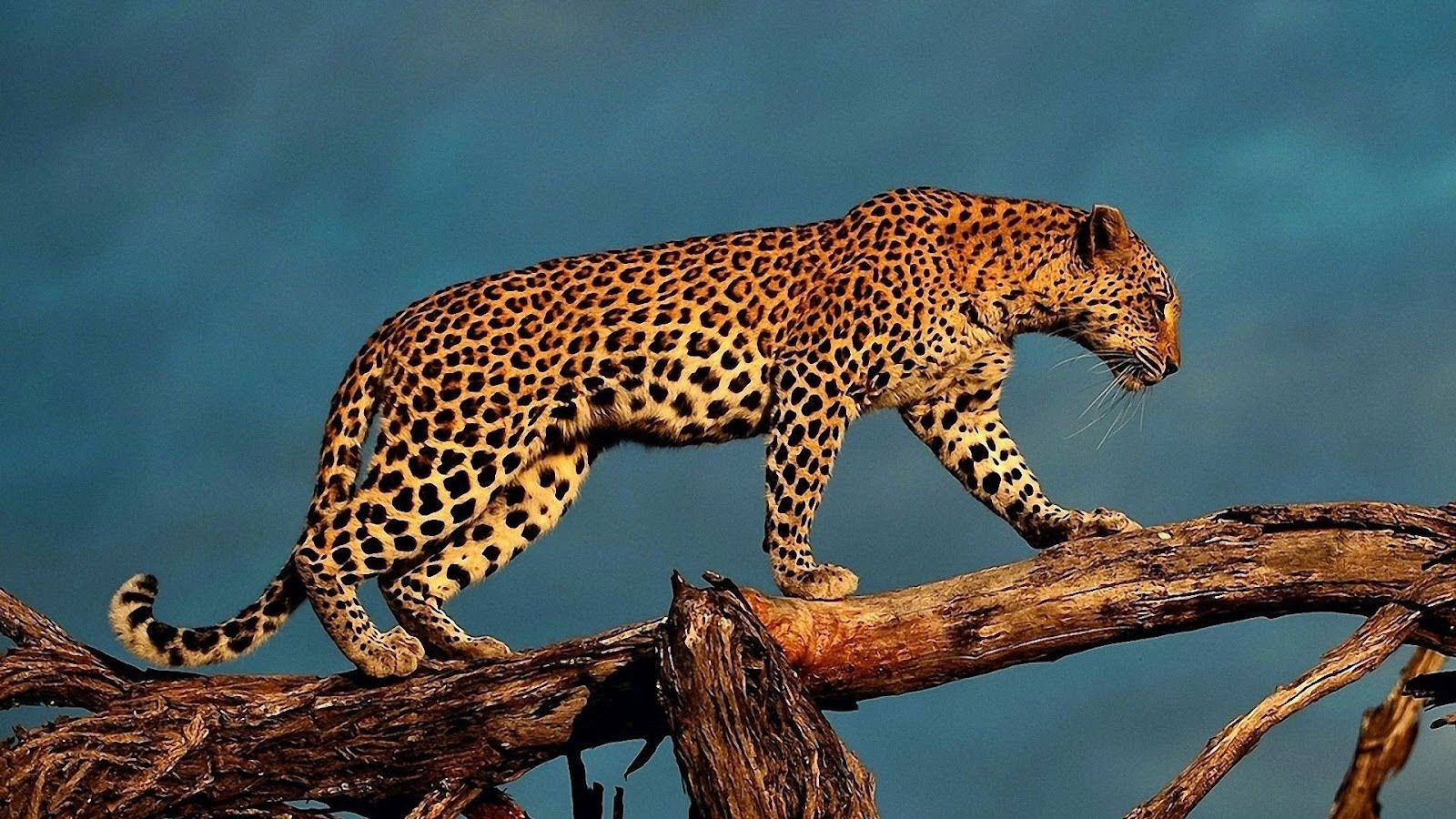 leopard Leopard On Tree big cats Pinterest Leopards