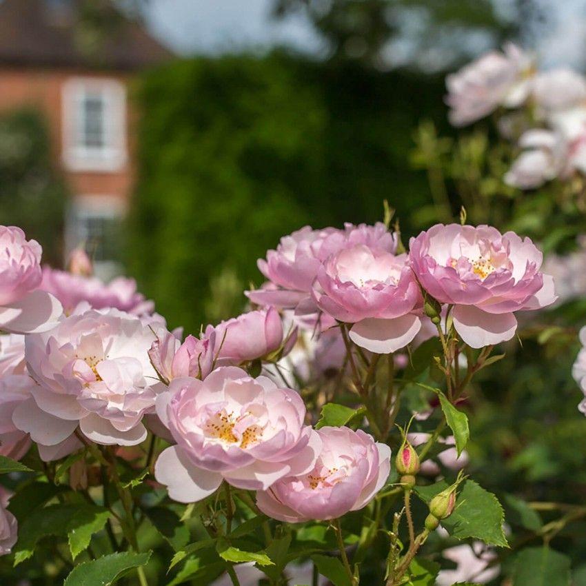 Scarborough Fair   English Shrub Rose   David Austin Roses