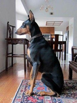 5 Best Personal Protection Dog Breeds Doberman Pinscher Dog