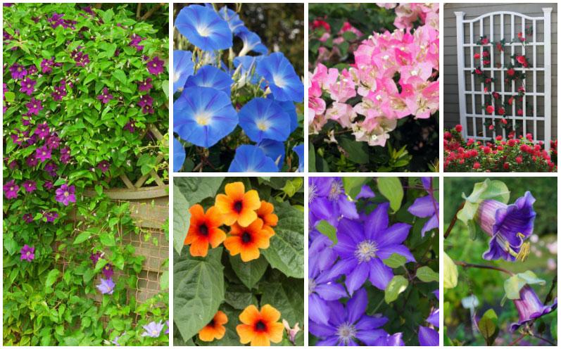12 Best Plants For Your Trellis Photos In 2020 Cool Plants Flowering Vines Plants