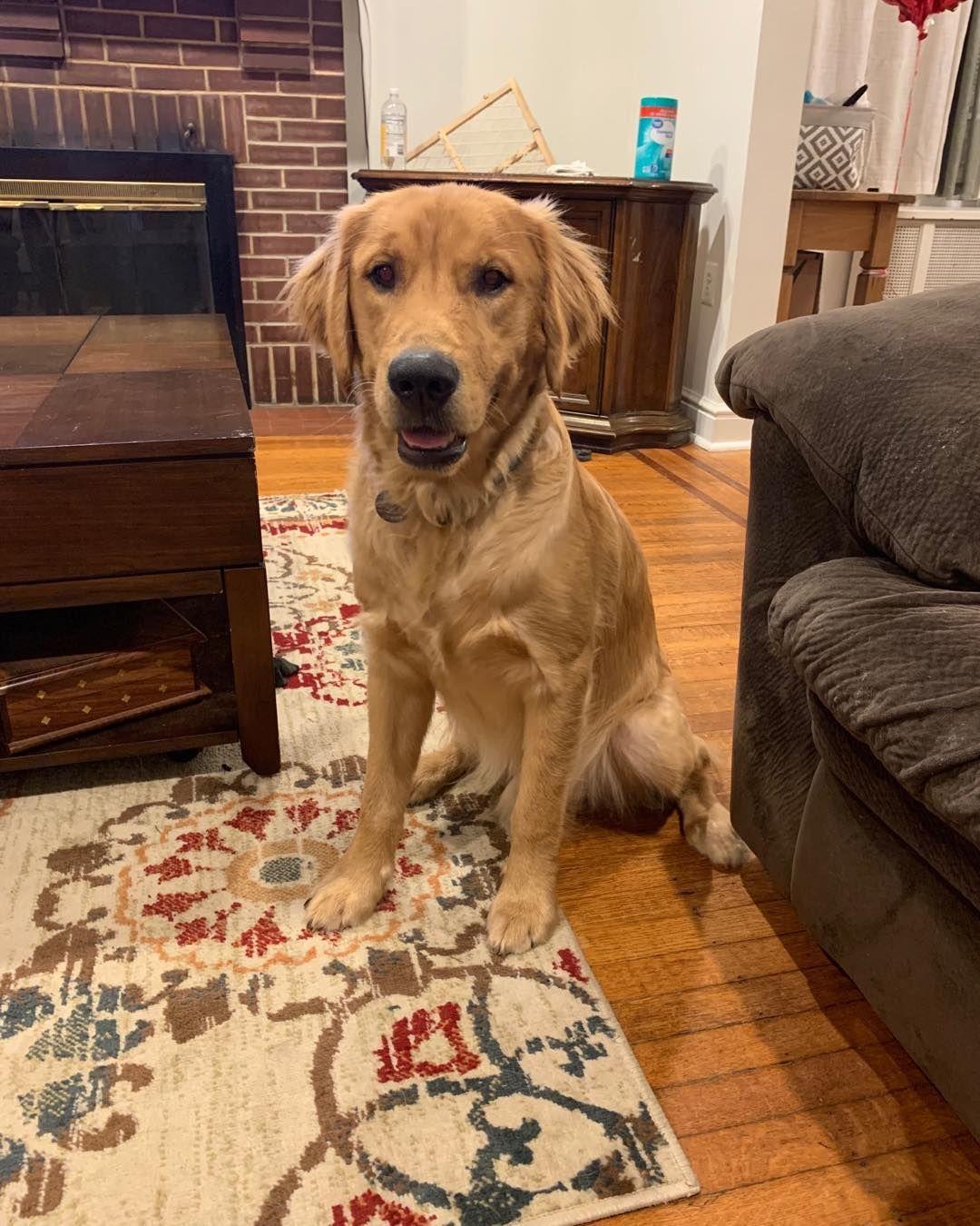 Current Crush Quilly Quillyquilly Quillyspecial Goldenretrievers Goldensofinstagram Golden Retriever Retriever Dogs
