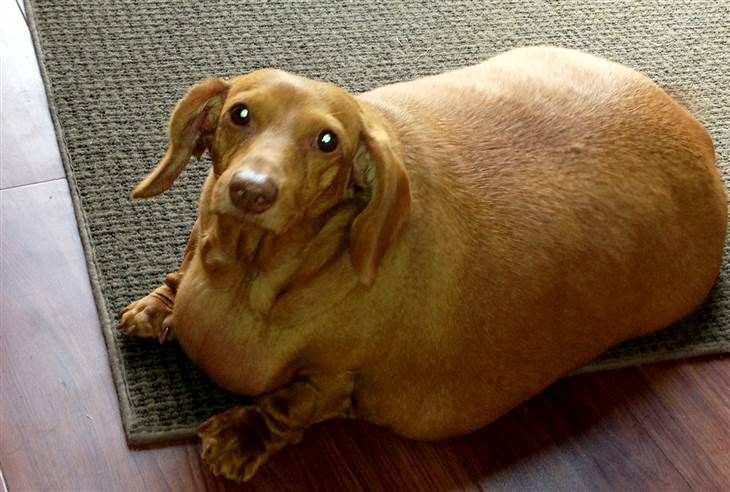 Dachshund On A Diet Obese Pup Loses 80 Percent Of Body Weight