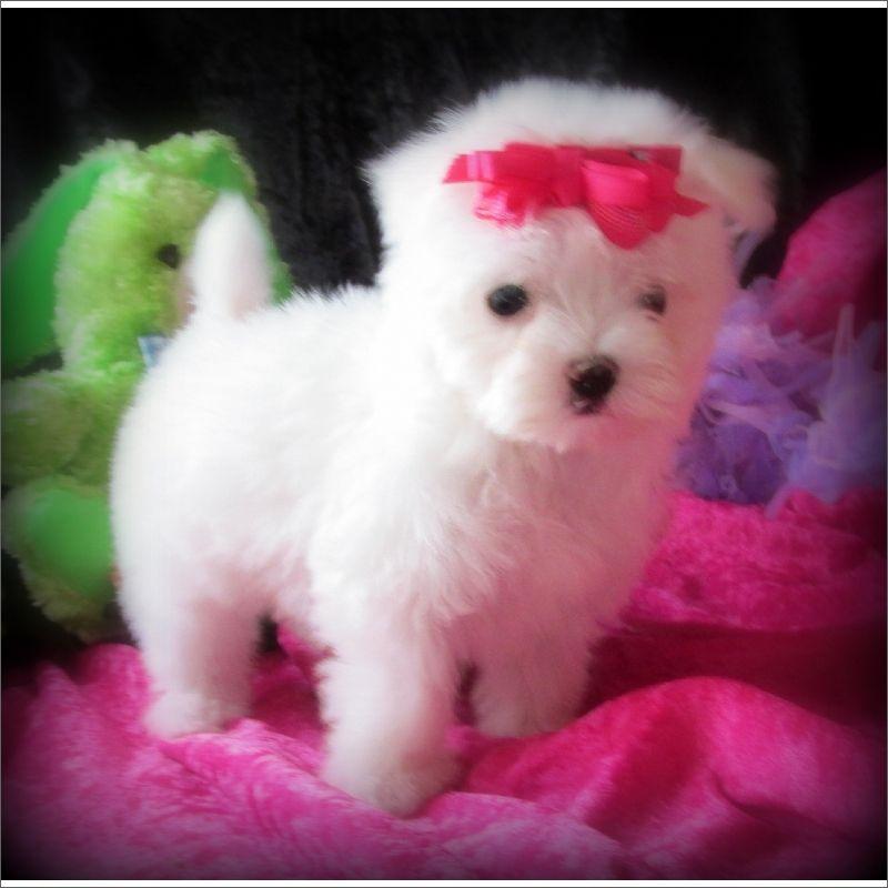 Teacup Westie Puppies Teacup Westie Puppies Gorgeous Tiny Teacup
