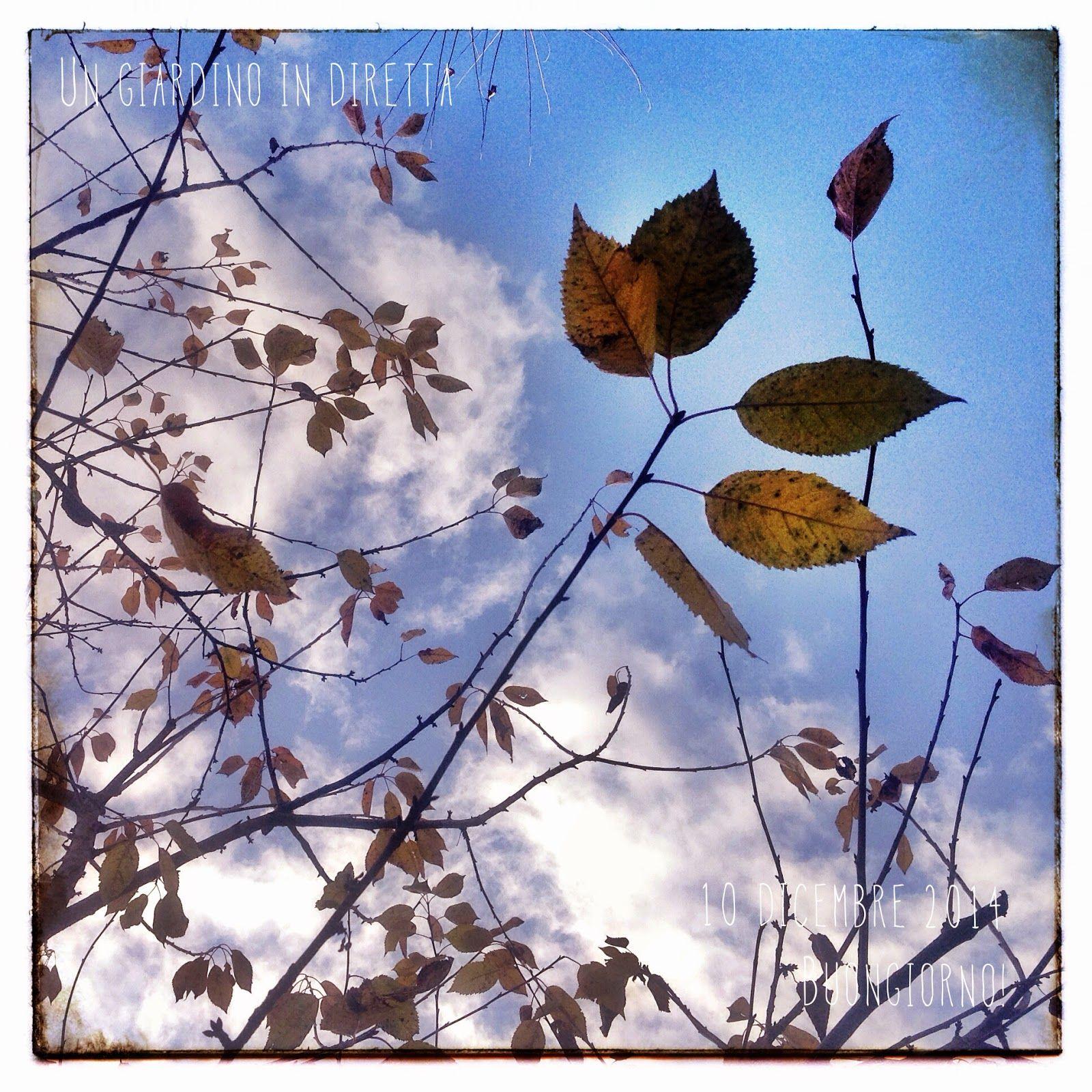 in diretta dal giardino ultime foglie di ciliegio buongiorno giardinieri giardino giardinoindiretta