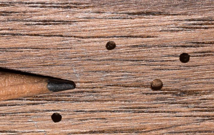 Trous Dans Le Bois Comment Lutter Contre Les Vrillettes Tout Pratique En 2020 Insecte Bois Vers De Bois Bois