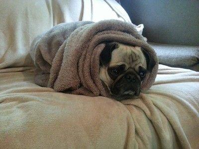 Pug Roll I Wrap My Pugs Up Like This Too Pugs Funny Pugs Pug Dog
