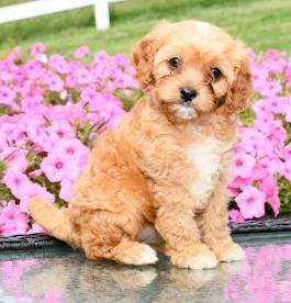Franklin Cavapoo Puppy for Sale in Millersburg, OH