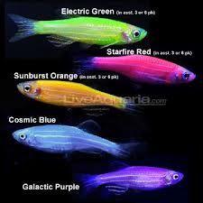 Can I Have This Glofish Freshwater Aquarium Fish Tropical Fish Aquarium