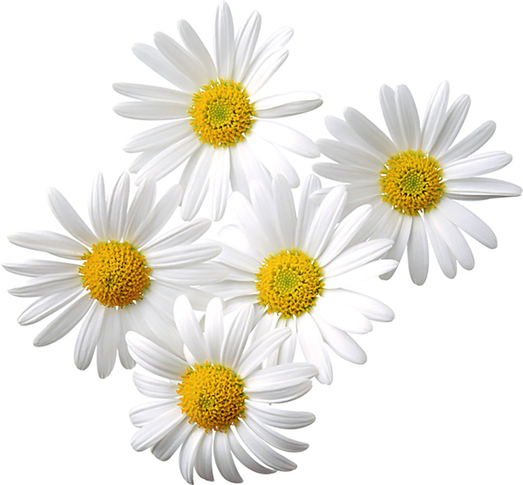 Transparent daisies clipart flowers5 daisy love pinterest transparent daisies clipart izmirmasajfo