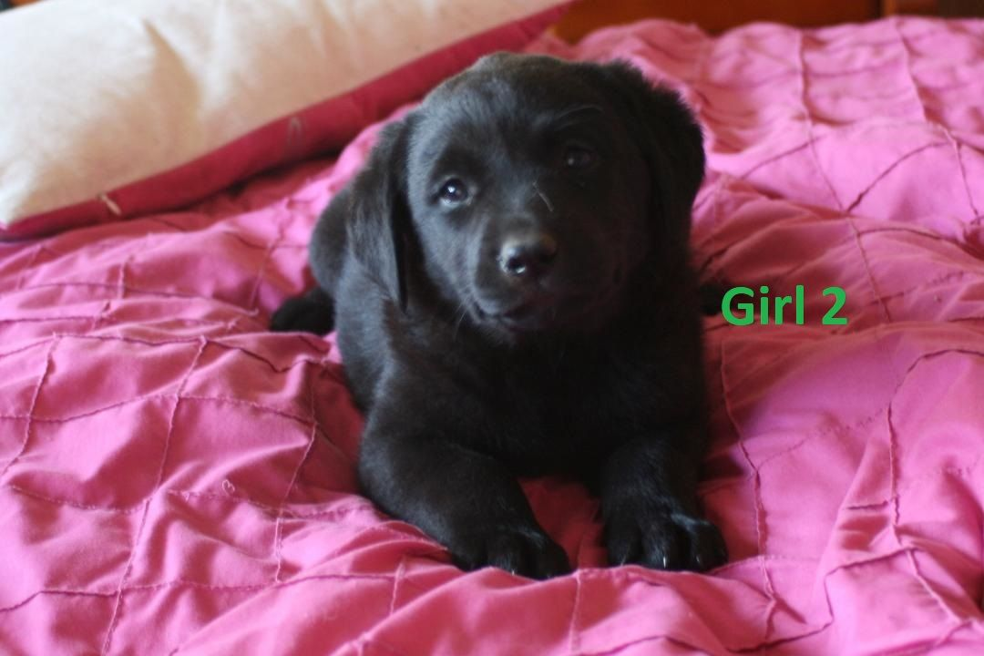 Labrador X Koolie Girl I Am Arriving Into Store 27 September I Am 6 Weeks Old In This Photo You Can Call The Shop On 07385 New Puppy Puppy Palace Labrador