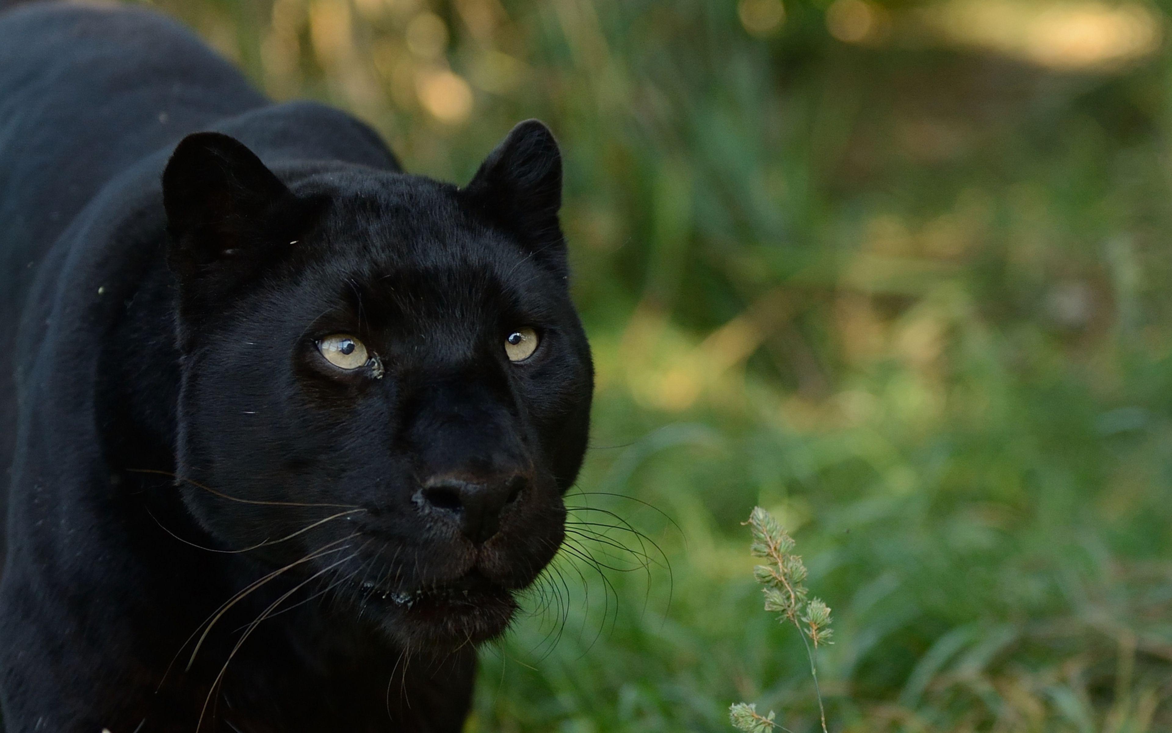 Wallpaper Black Panther 4k | Gasebo Wallpaper