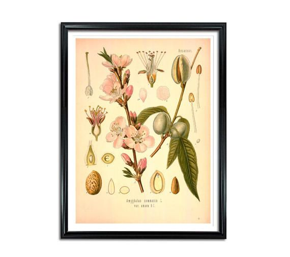 Almond Botanical Print Amygdalus communis sweet almond