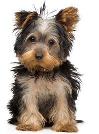 Best Dog Food For Yorkies To Qualify Every Puppy Food Must Meet