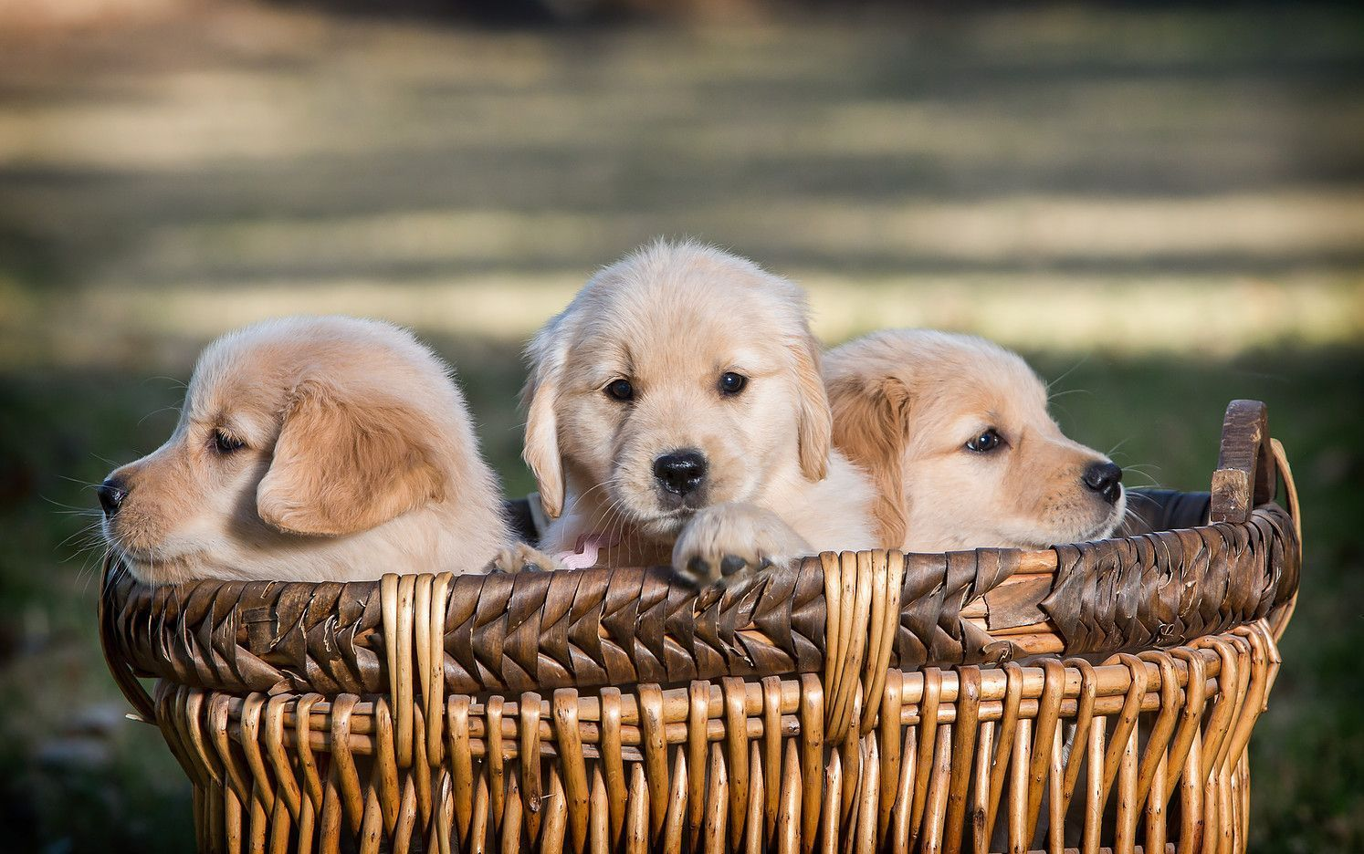 Celebrity Golden S Breeding And Whelping Golden Retriever Puppies