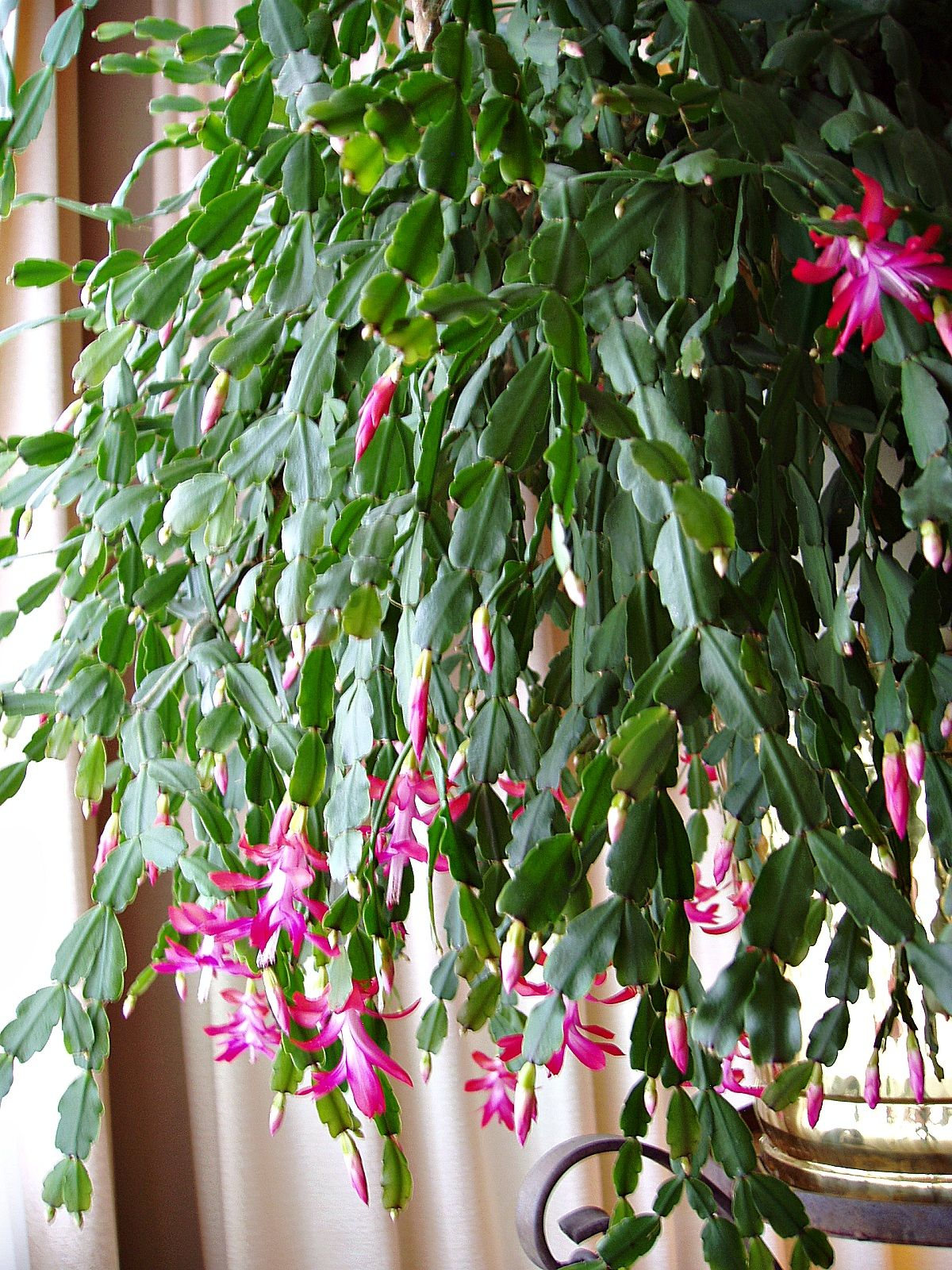 Beautiful Christmas cactus So pretty when in full bloom