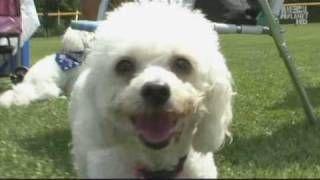 Dogs 101 Bichons Animal Planet 02 Nov 08 Via Youtube Dogs