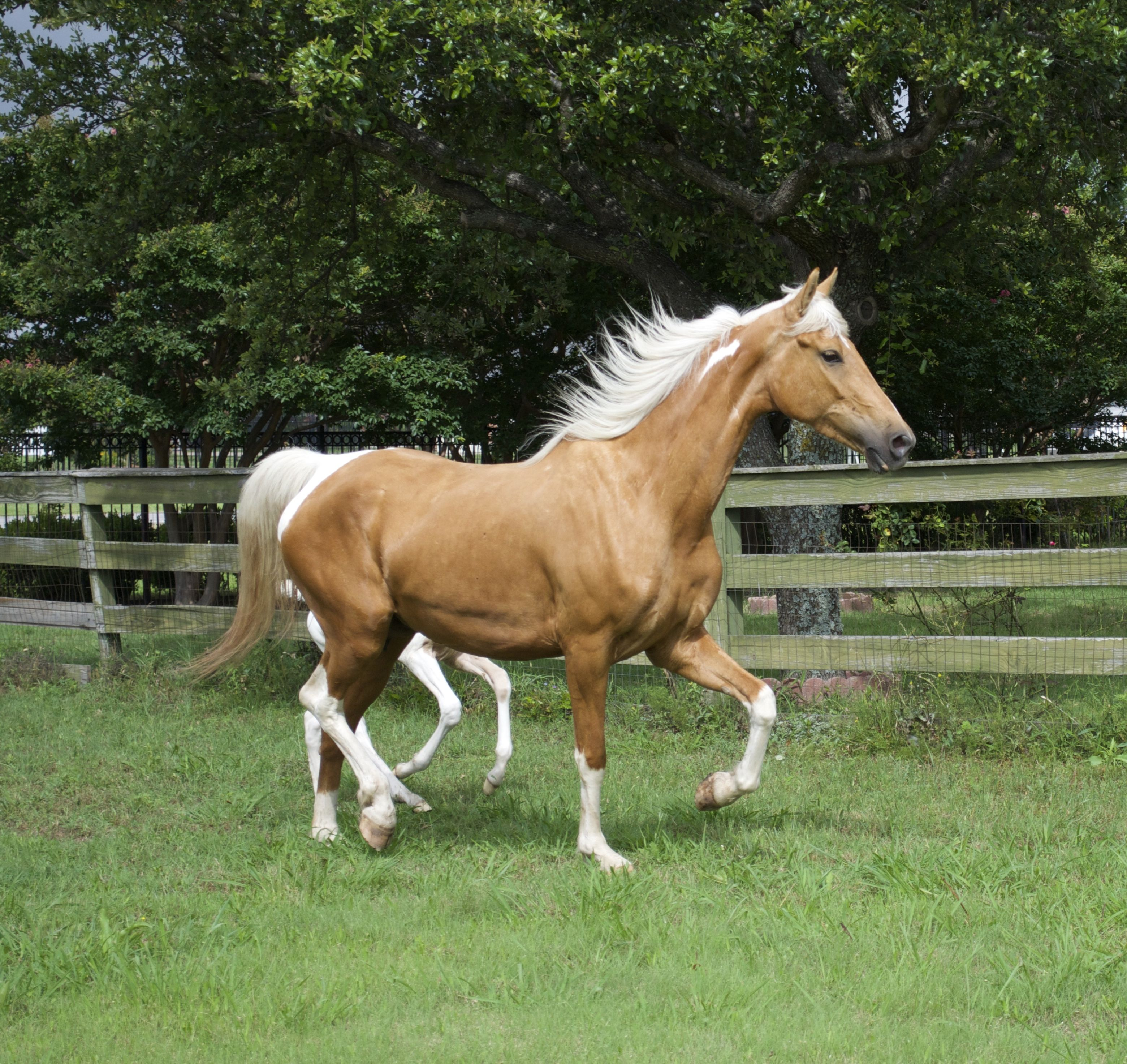 Saddlebred American pinto pictures exclusive photo