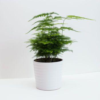Asparagus Fern Also Known As Plumosa Fern House Plant Kokedama
