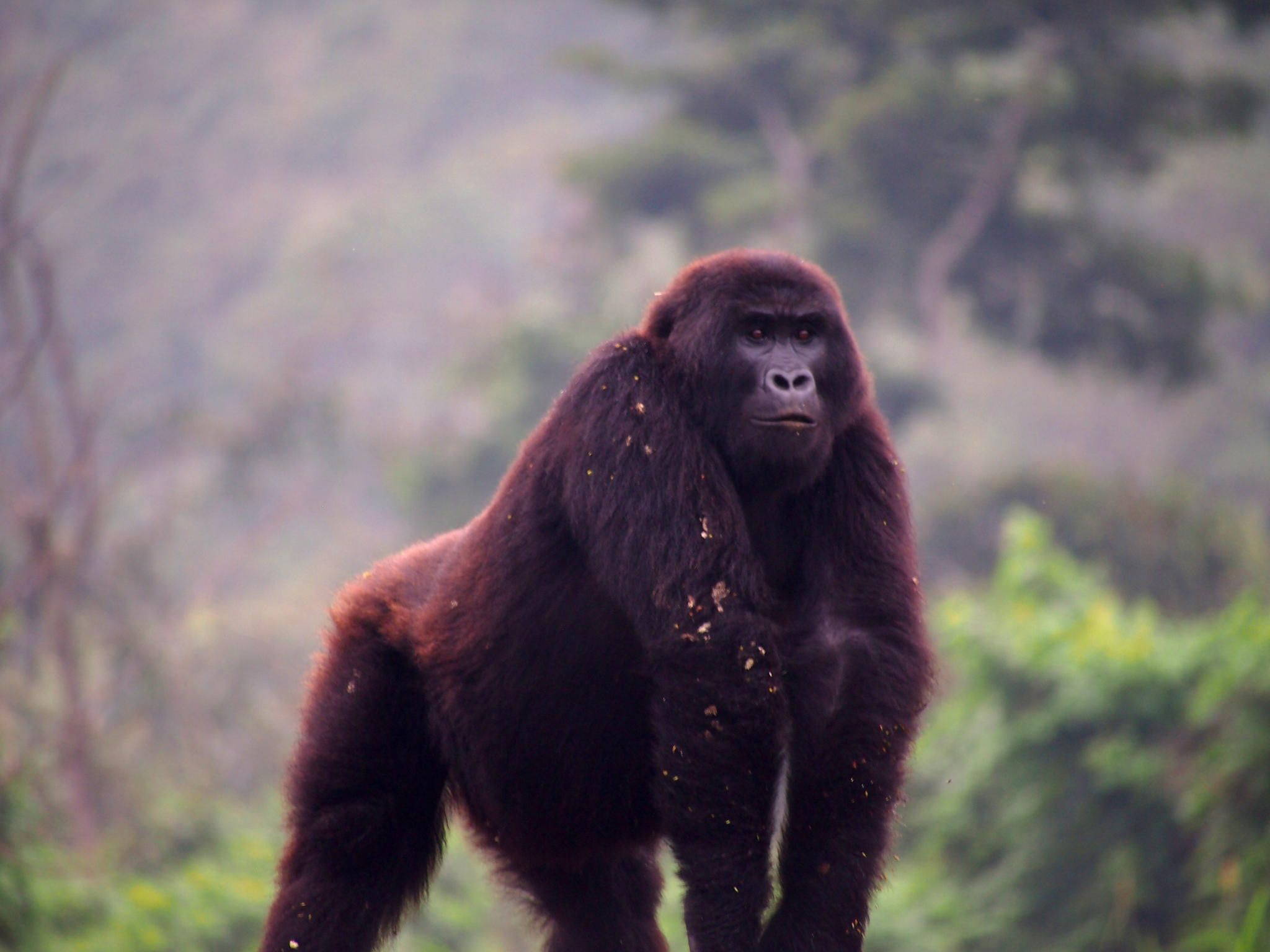 A Grauer's gorilla at the GRACE sanctuary in the eastern ...