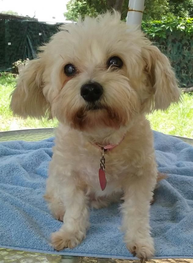 Adopt DaisyAnn (FL) on Poodle mix dogs, Small dog rescue