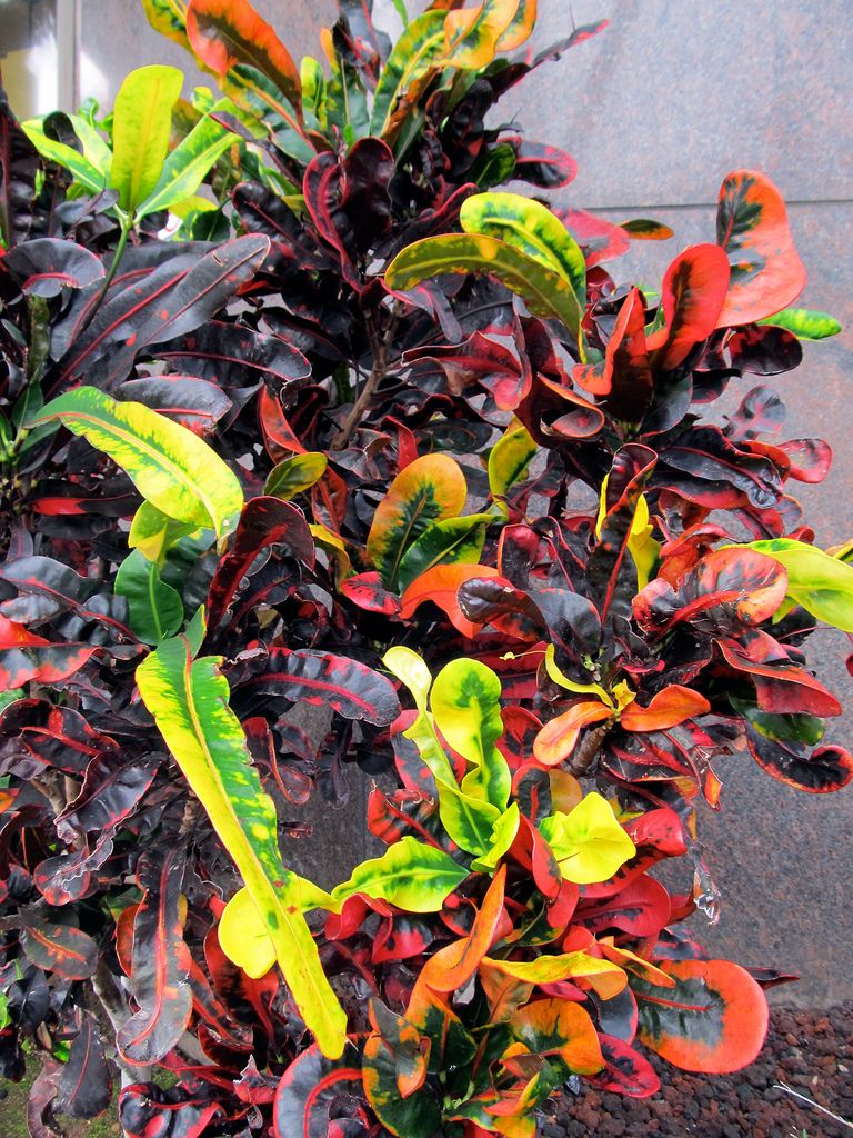 Croton Indoor Plant – Care Of Croton Plants Plants 400 x 300