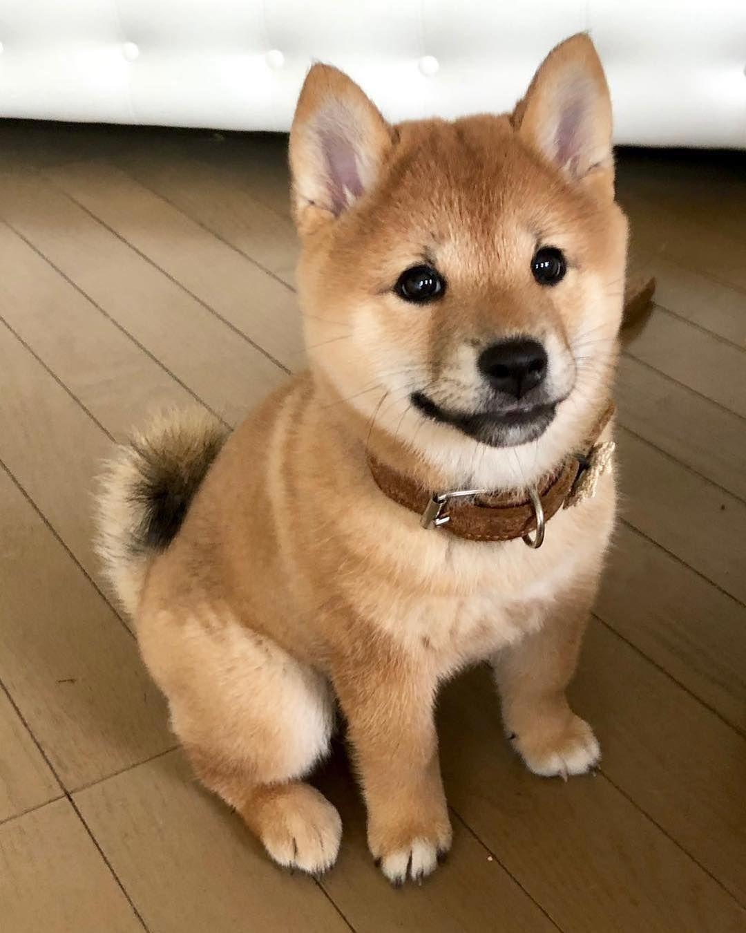 Pin von Amber auf Kittens & Puppies (mit Bildern) Shiba