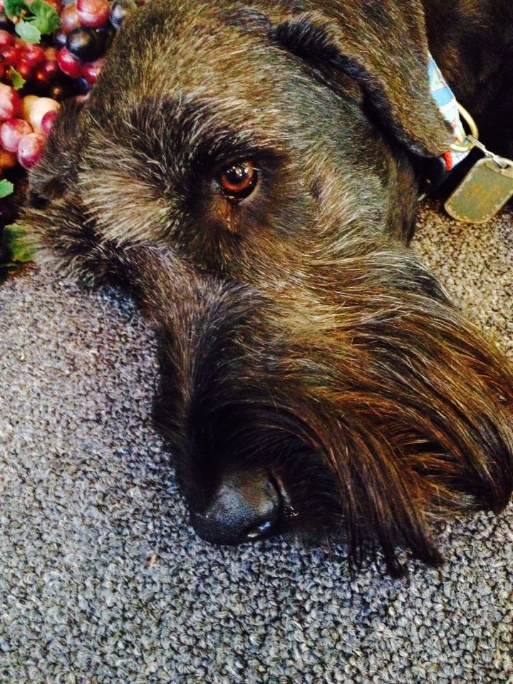 This is my big baby. He is a giant schnauzer with a little bit of lab and terrier in him. He is 5 years old.