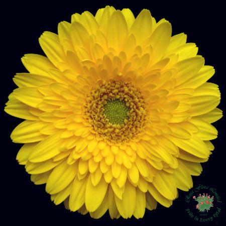Yellow Miniature Gerber Daisy Gerbera Flower Gerbera Daisy Gerber Daisies