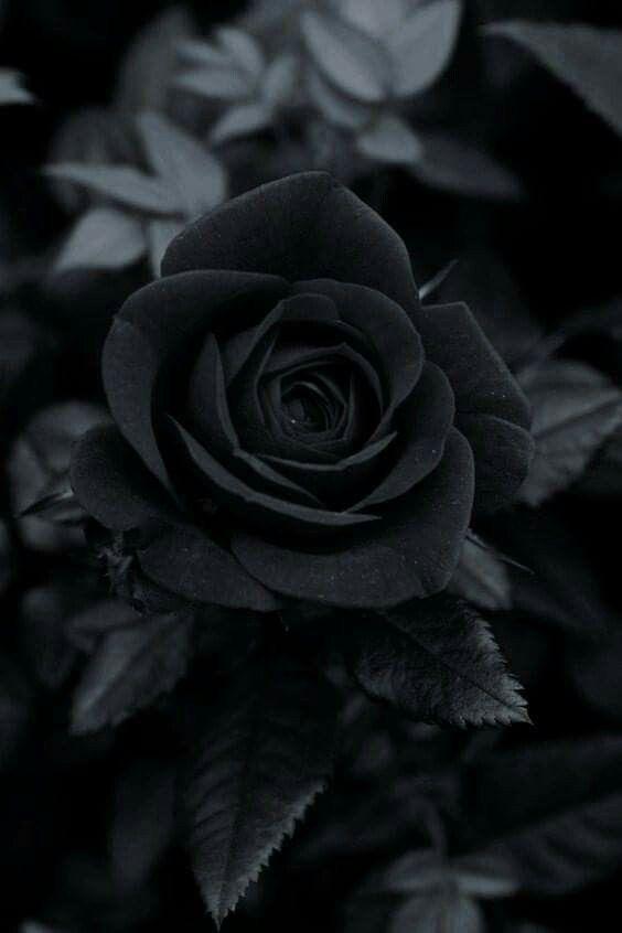 Марта, черные розы картинки на телефон