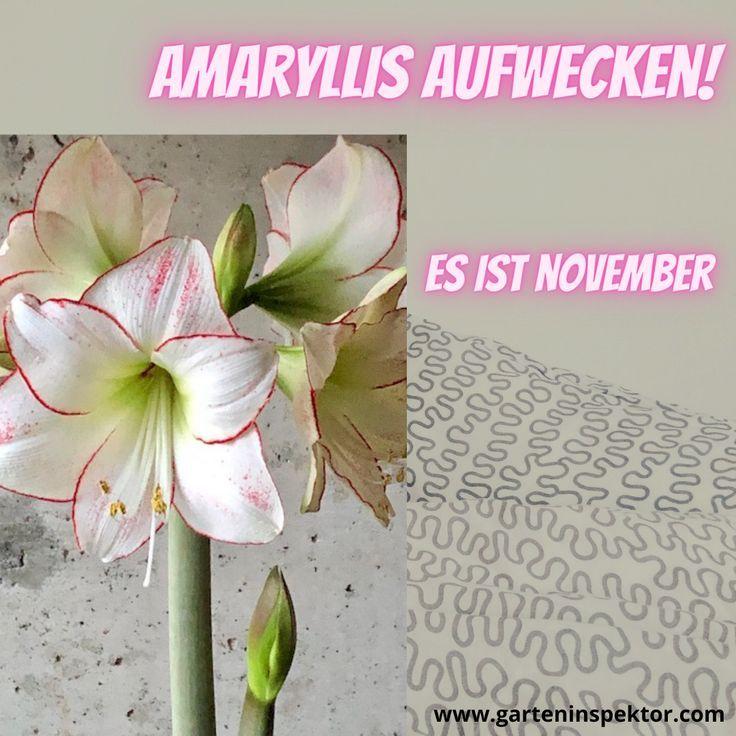 Amaryllis im November aufwecken