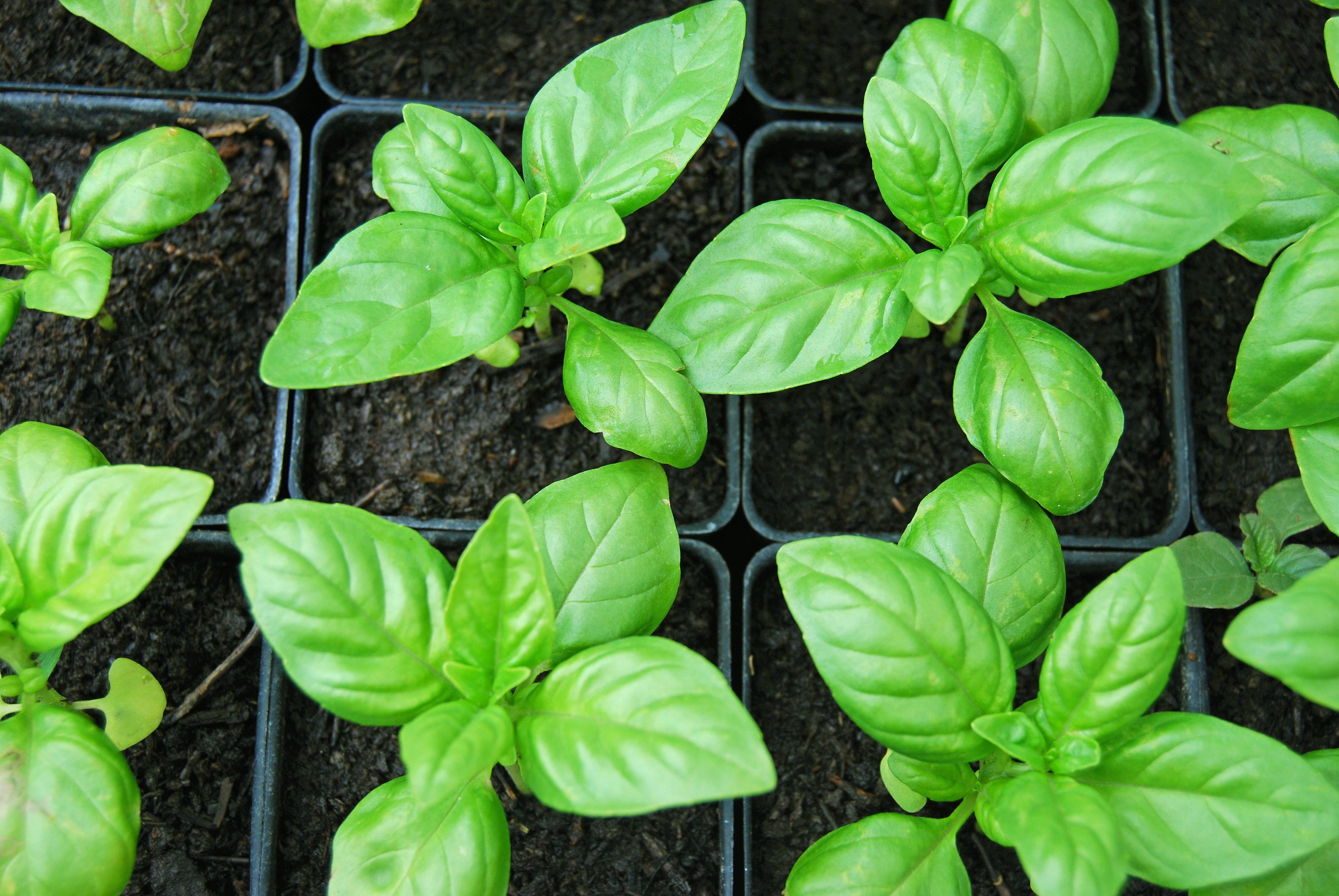7 tips for growing mad giant basil plants | Basil plant, Plants and
