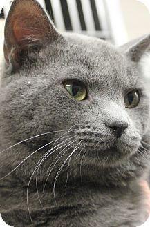 Clayton Nj Domestic Shorthair Meet Casper A Cat For Adoption Cat Adoption American Shorthair Cat Pets