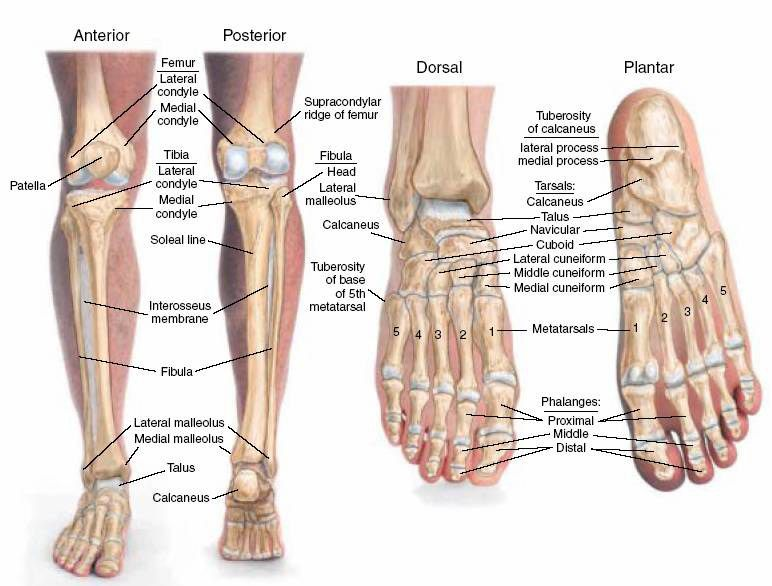 leg bones anatomy | bones of the feet & lower legs | school, Human Body
