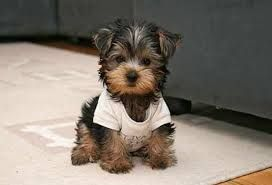 Image Result For Miniature Dog Breeds That Don T Shed Best Small Dogs Dog Breeds That Dont Shed Yorkshire Terrier Puppies