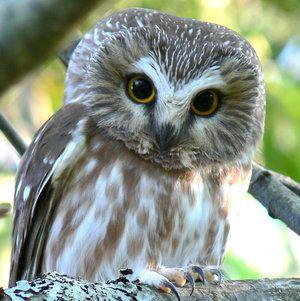 Northern Saw-whet Owl Nest Box Plans: Install 12 to 15 feet ... on barn owl house plans, screech owl house plans, horned owl house plans, barred owl house plans,