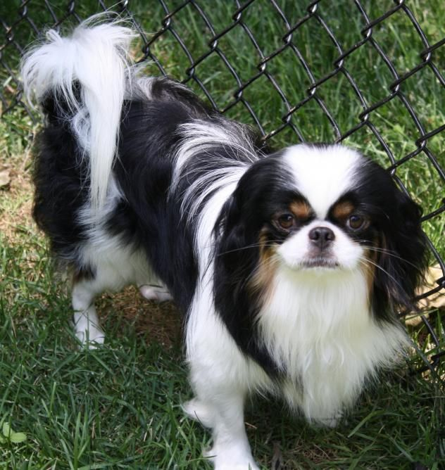 Adopt Dexter Adopted On Cute Animals Pekingese Dogs