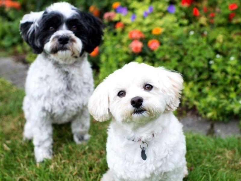 Der Bolonka Zwetna Kleiner Hund Grosses Herz Bolonka Zwetna Bolonka Kleine Hunde