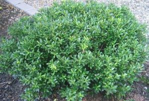 Soft Touch Holly - Amon 003850. Grows moderately to 3-4' high, 5' wide.