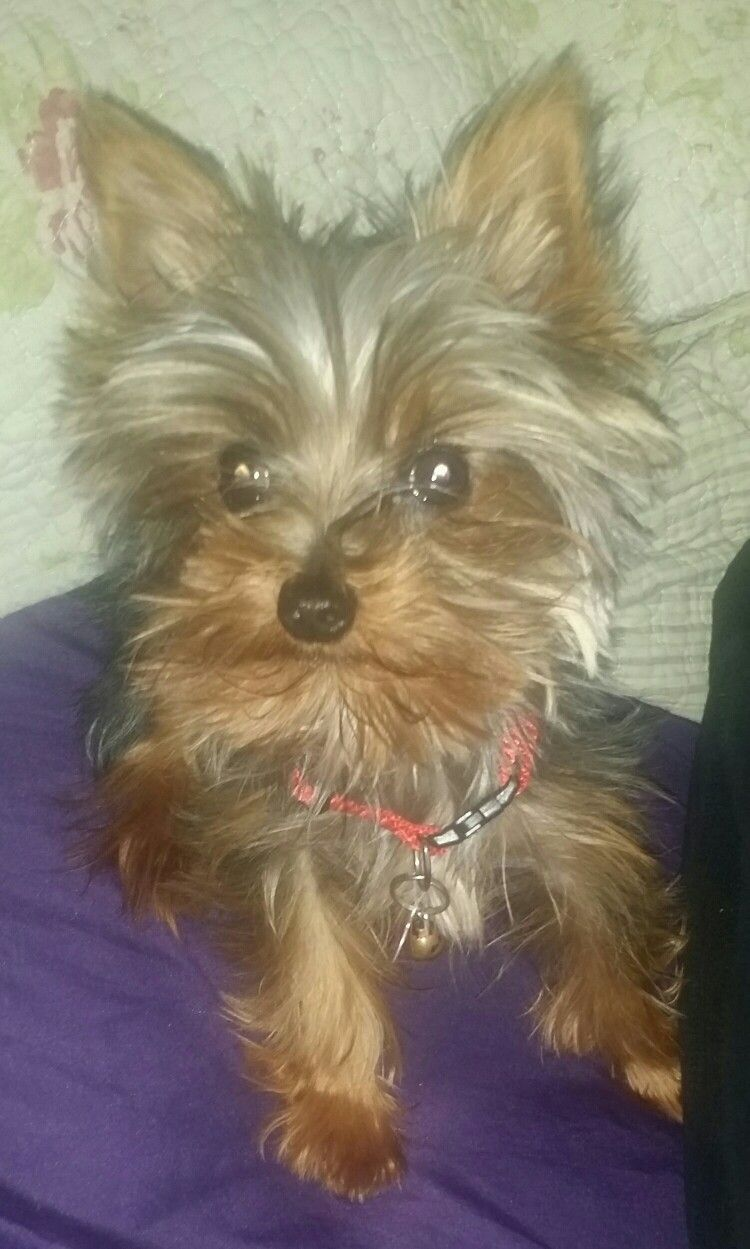 Teacup Yorkie Riley Almost 2 Years Old And Still 2 Pounds Waiting For His Hair To Grow So We Can Put A Pretty Bow Teacup Yorkie Yorkie 2 Years Old