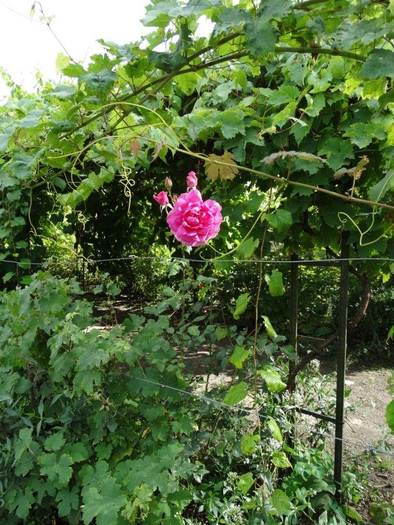 Fleur du jardin potager du Château de la Bussière @unkmàpied
