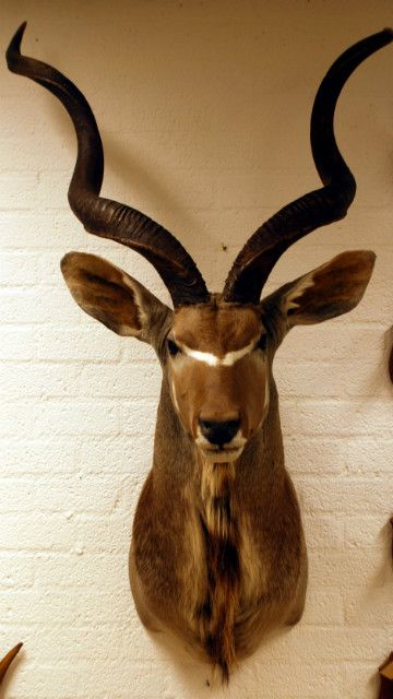 Kudu koedoe grote opgezette kop van een kapitale kudu for De jong interieur