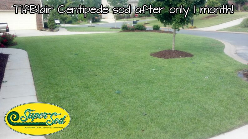 Tifblair Centipede Sod Late Last Summer Only 1 Month After Being Installed Fills In Nice Fast Sod Grass Centipede Grass Sod