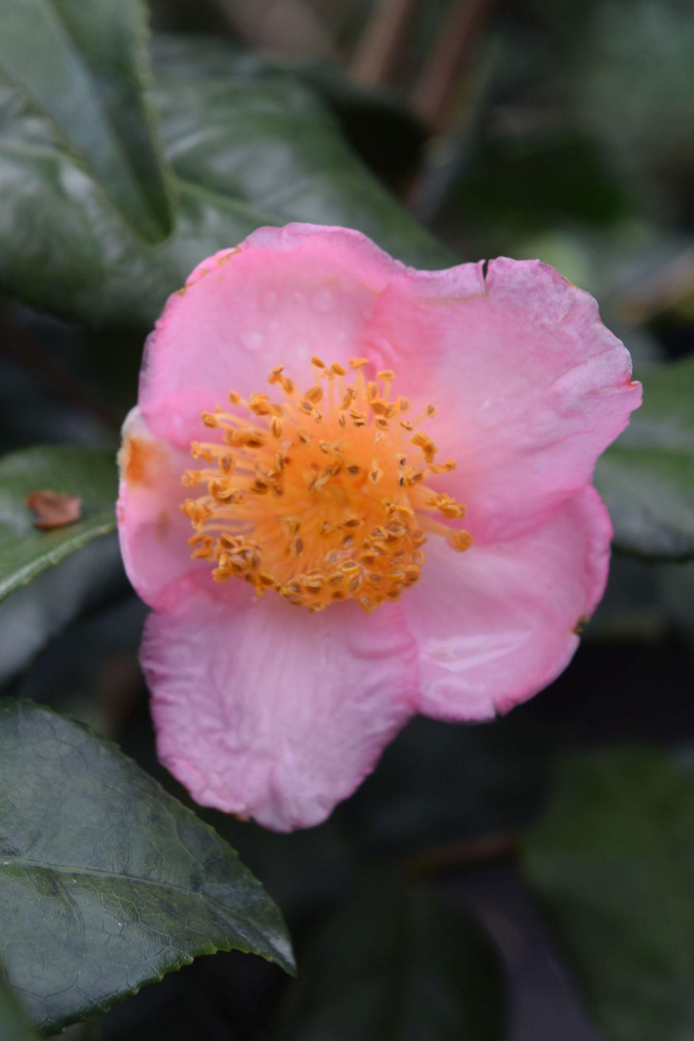 Camellia X Robiraki Forest Nursery