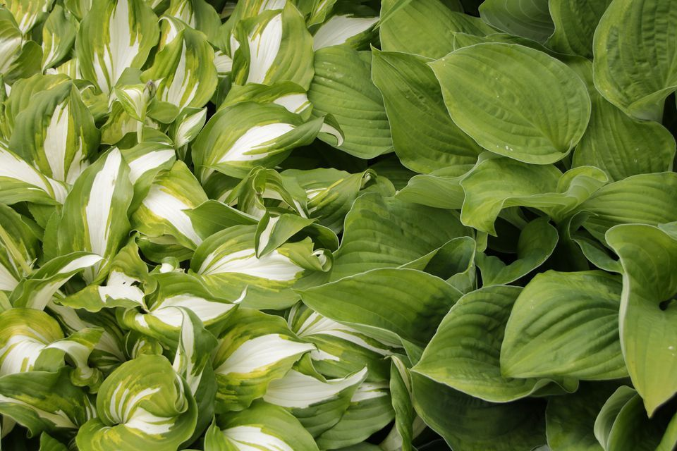 Learn Which Varieties Of Hostas Can Grow In The Sun Garden Full