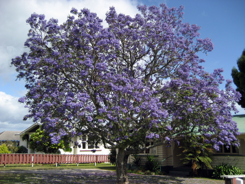 Jacaranda mimosifolia family bignoniaceae tree in flower the jacaranda mimosifolia family bignoniaceae tree in flower izmirmasajfo Images
