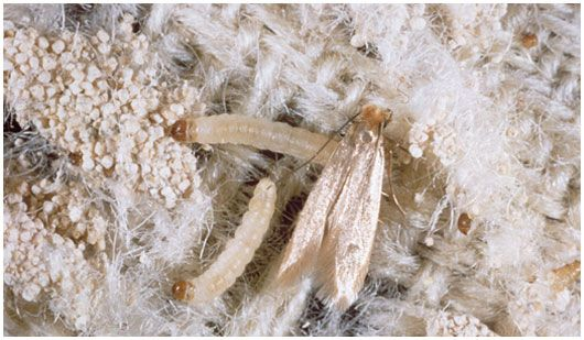 Info And Product For Treating Clothes Moths Green