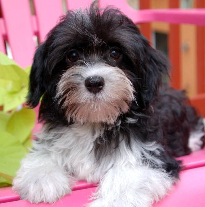 Royal Flush Havanese Black And White Male Havanese This Looks Just