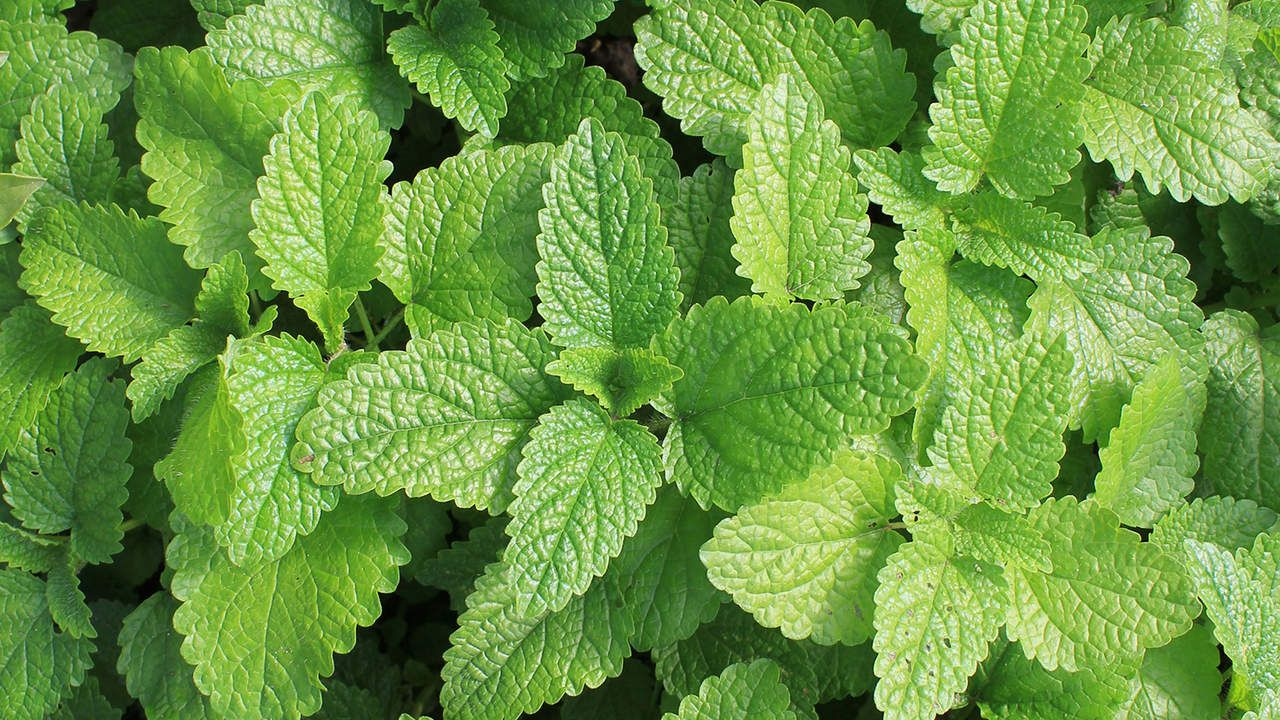 8 Plants That Repel Bugs and Mosquitoes Plants that