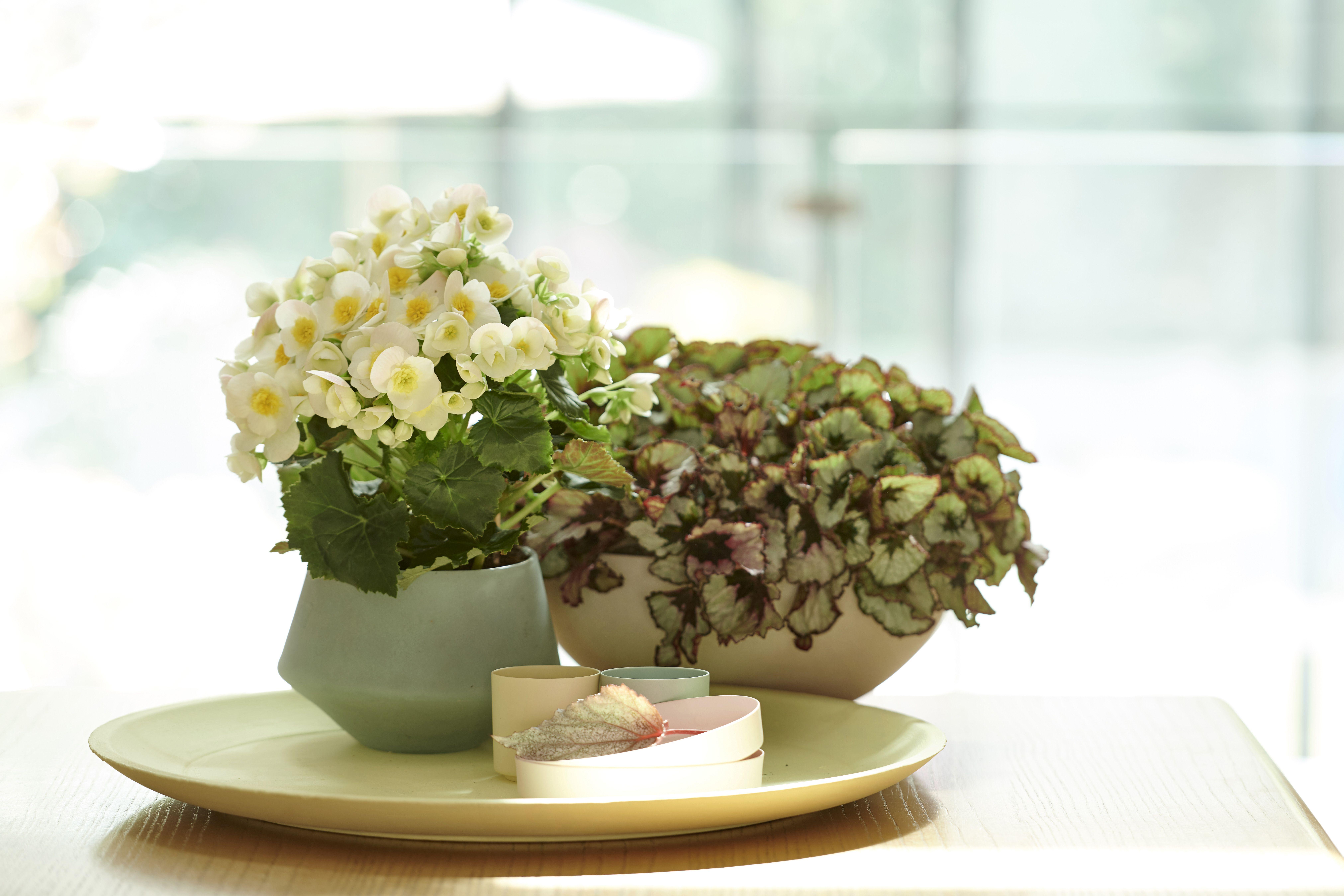 Le bégonia Bégonia, Planter des fleurs, Plante