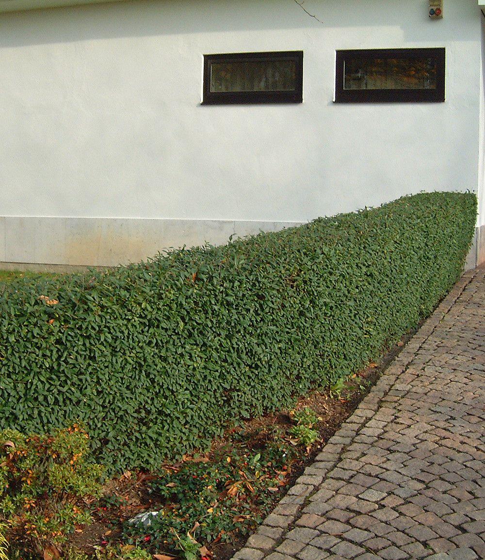 Liguster Hecke Schnellwachsend Im Set 20 Pflanzen Garten
